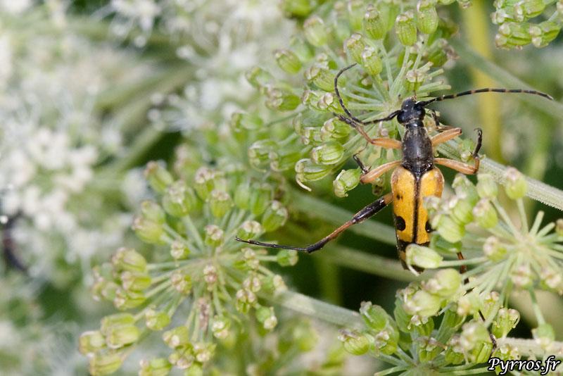 Le Lepture tacheté, également appelée strangalia tacheté (Leptura maculata ou aussi Rutpela maculata)