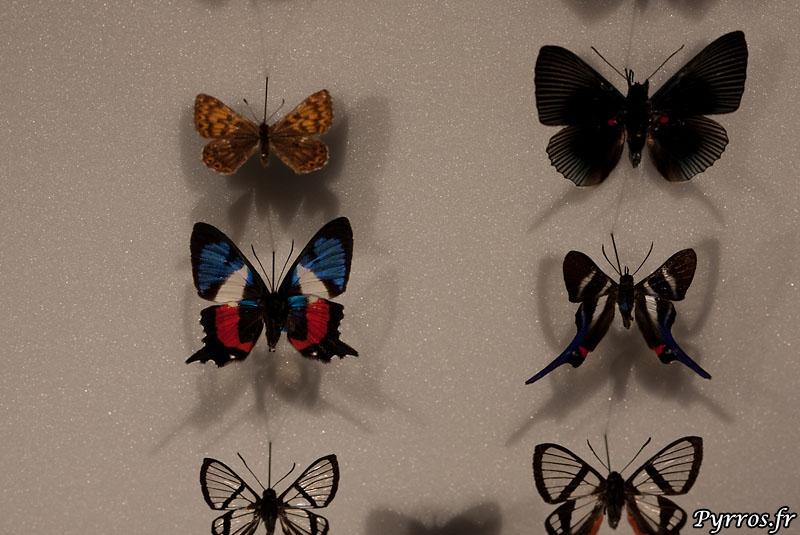 le papillon blue blanc et rouge est un Ancyluris formosissima qui vit dans les forets amazonniennes