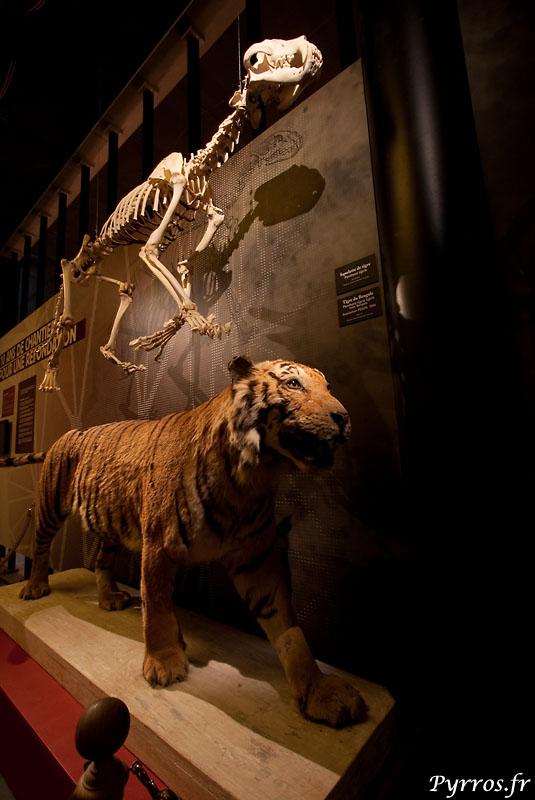 le tigre et son squelette