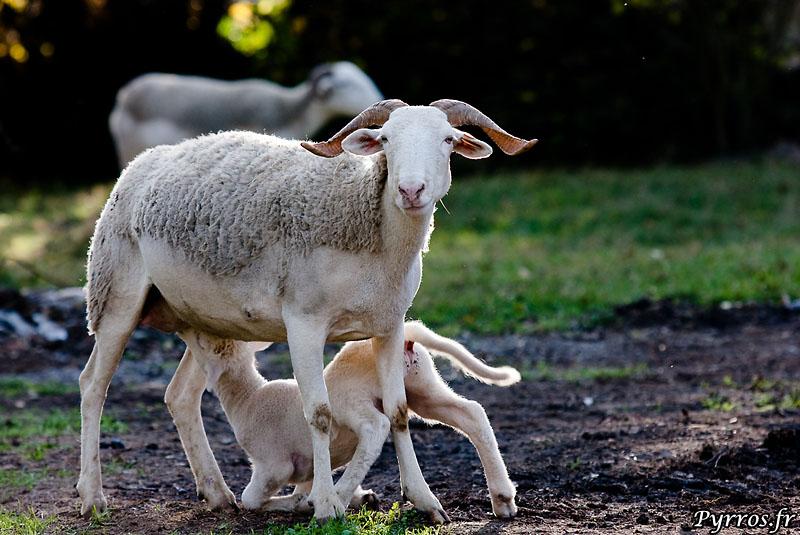 Agneau du Vicdessos tetant sa mère qui reste sur ses gardes
