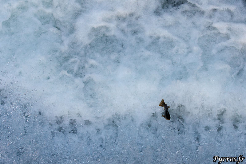 Les truites luttent pour remonter une infranchissable retenue d'eau