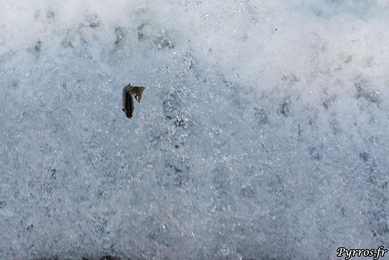 Les truites luttent pour remonter une infranchissable retenue d'eau de la vallée du Vicdessos