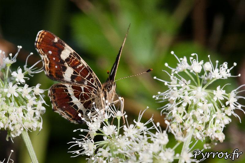 Papillon d'Aulus (09)