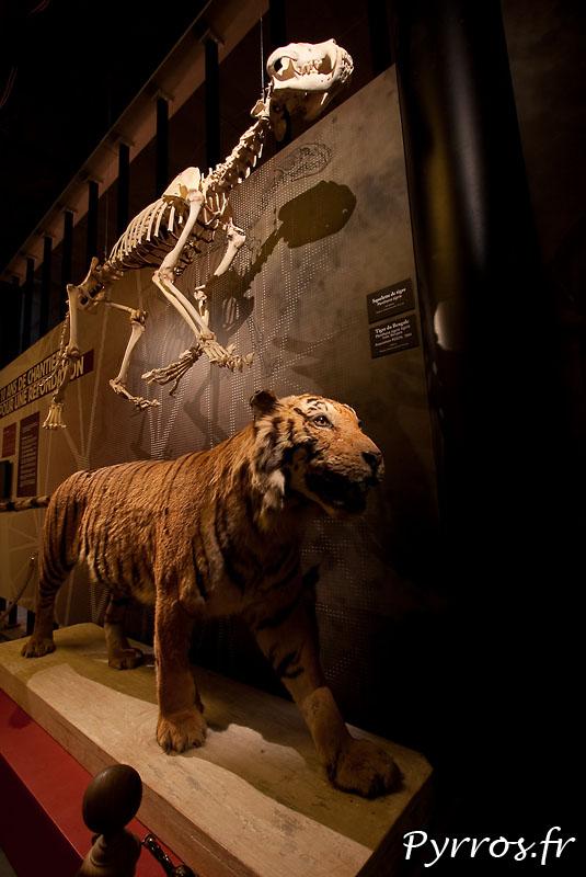 le tigre du bengal et son squelette
