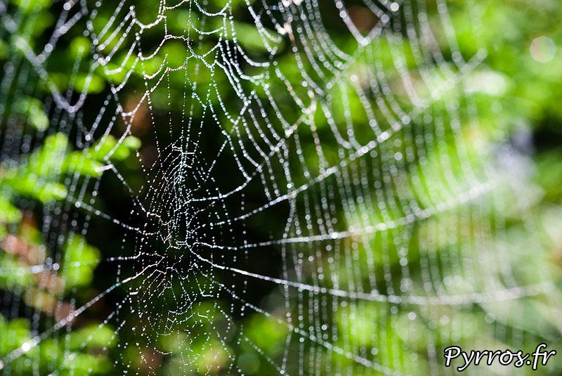 Toile d'araignée, écrin des perles de rosée
