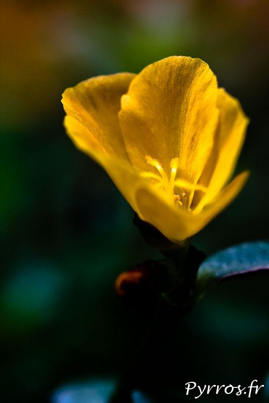 Oeillet d'inde (Tagetes patula), Le nom « Oeillet d'Inde » vient de sa ressemblance avec l'oeillet commun (Dianthus caryophyllus), et du fait que la plante a été initialement importée des Antilles, à  l'époque où elles faisaient partie de ce qu'on appelait les « Indes occidentales ».