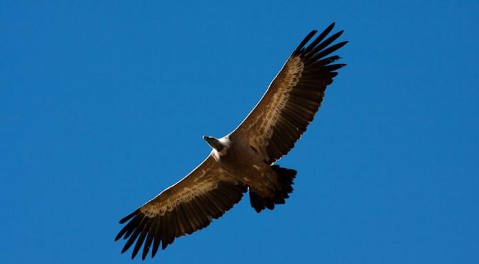 Vautour Fauve en vol, à la recherche de courants chauds ou courants ascendants pour gagner de l'altitude