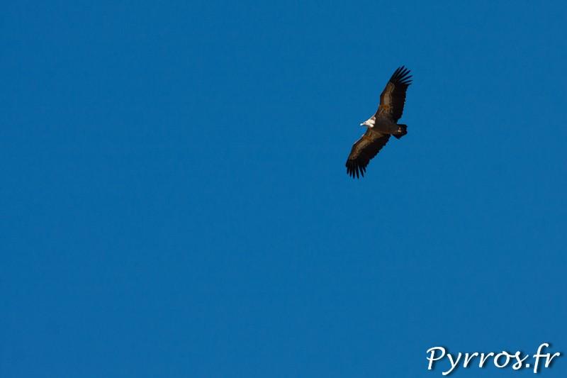 Vautours Fauves portant des bagues aux ailes (C6A) afin de permettre aux naturalistes un suivi des déplacements de ce rapace.