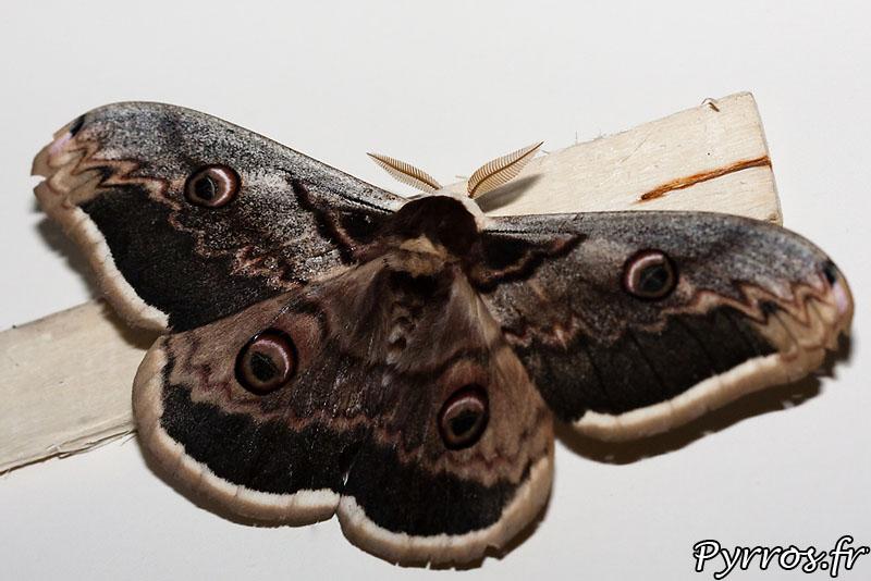 Le Grand Paon de Nuit (Saturnia pyri), ce papillon de nuit est le plus grand papillon européen