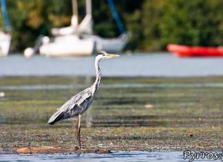 Le matin ce héron se pose sur les algues du confluent en quête de la proie idéale