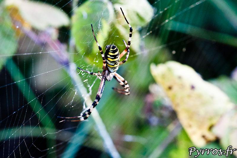 Cette araignée (Argiope frelon, épeire fasciée ou Argiope bruennich) se déguise en frelon pour se prémunir des attaques de prédateurs potentiels