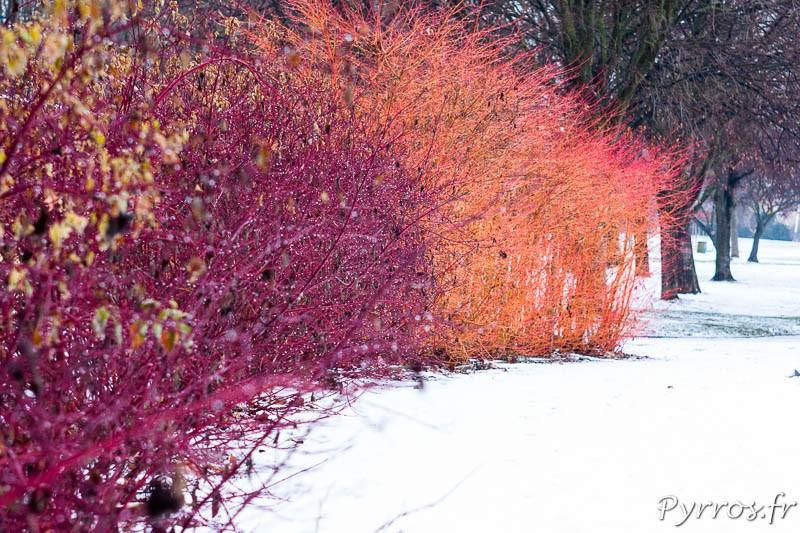 Végétaux flamboyant sous la neige
