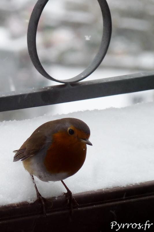 Neige à Toulouse, le rouge-gorge cherche la chaleur et la nourriture