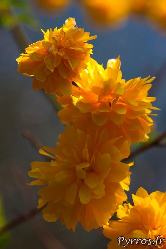 La Corete du Japon (Kerria japonica) est un arbuste de la famille des Rosaceae.