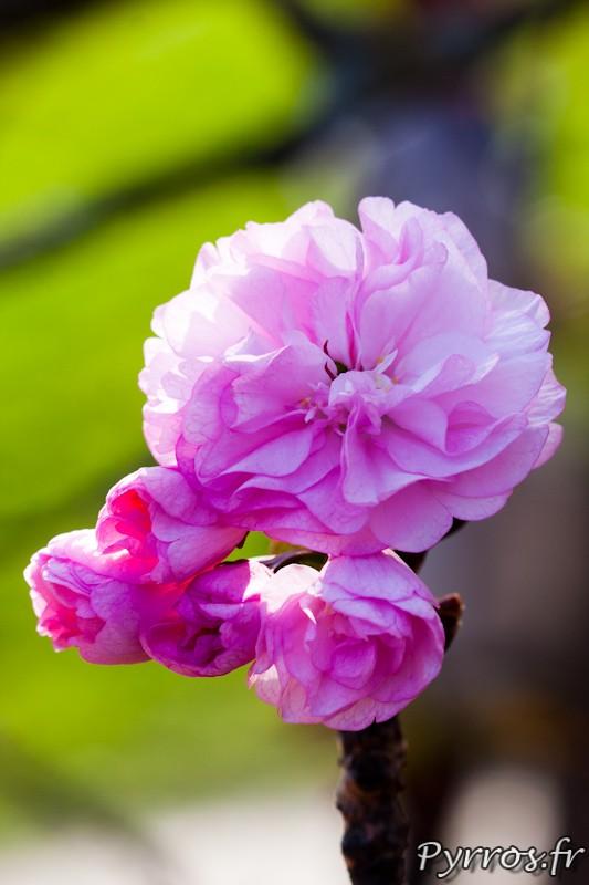 Prunus serrulata est une espece d'arbre d'ornement japonaise de la famille des Rosaceae.