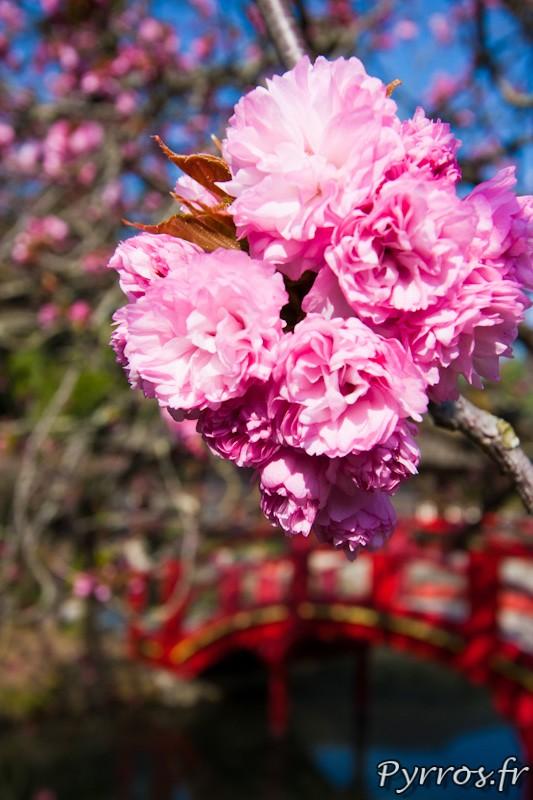 Cerisier du Japon, ( ou Cerisier des collines, ou Cerisier a fleurs japonais ou Cerisier oriental) devant le pont rouge
