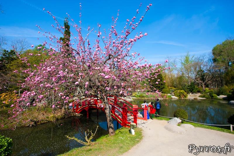 Cerisier du Japon (Prunus serrulata) devant le pont rouge