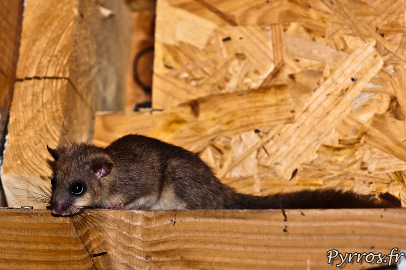 Loir gris (Glis glis) en observation