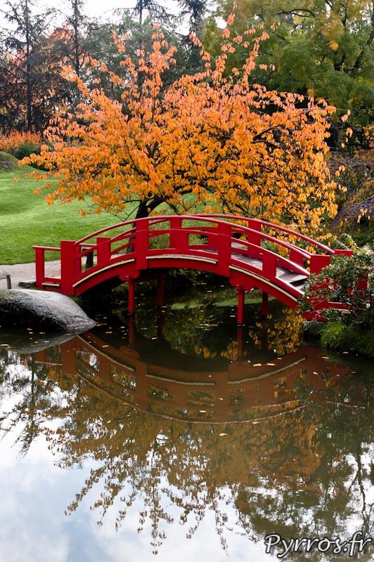 Automne au jardin Japonnais, arbre orange devant le pont rouge