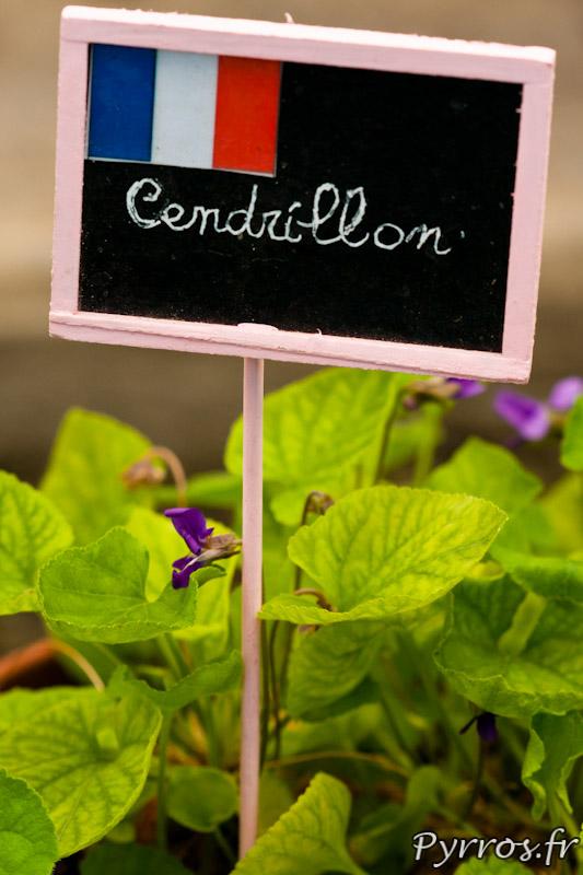 Violette Cendrillon ou Viola Odorata Cendrillon au conservatoire national de la violette