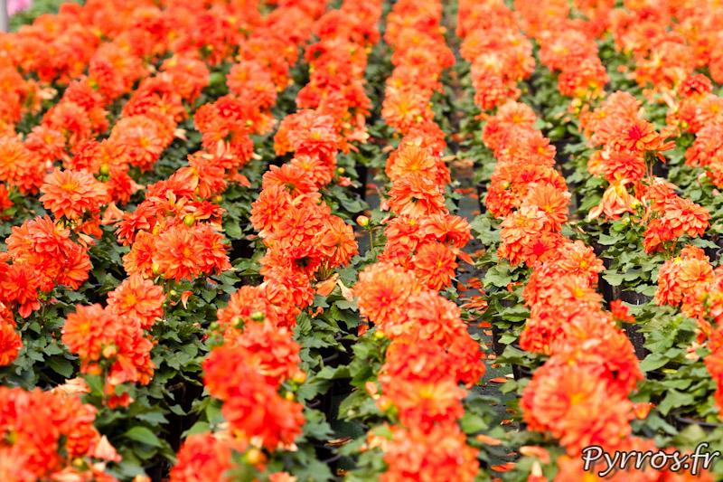 Dahlias oranges au serres municipales de Toulouse
