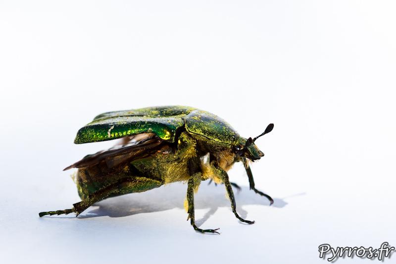 Ce scarabée vert est une Cétoine dorée dans la montagne noir.