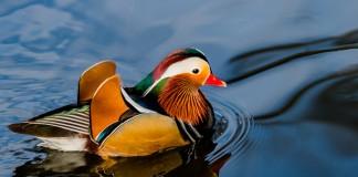L'image du Canard mandarin se reflète dans la mare où il nage paisiblement