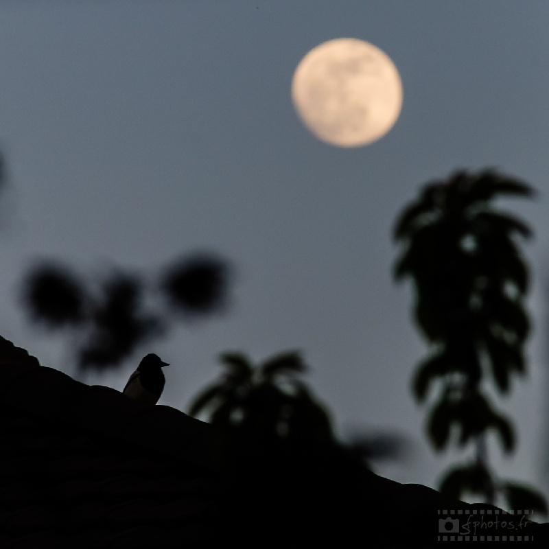 Un oiseau et des branches d'arbres pour occuper le premier plan devant la lune gibbeuse – Avril 2014 - 1 photo / Nikon D300s + Sigma 100-300mm f/4 à 300mm / ISO800 / 1/320s / f/11