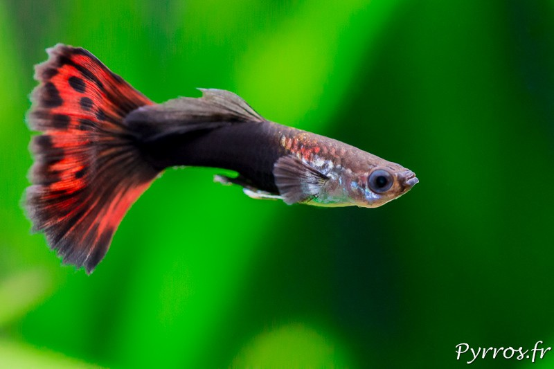 Comment photographier les poisson dans un aquarium ? (Guppy queue voile Red)