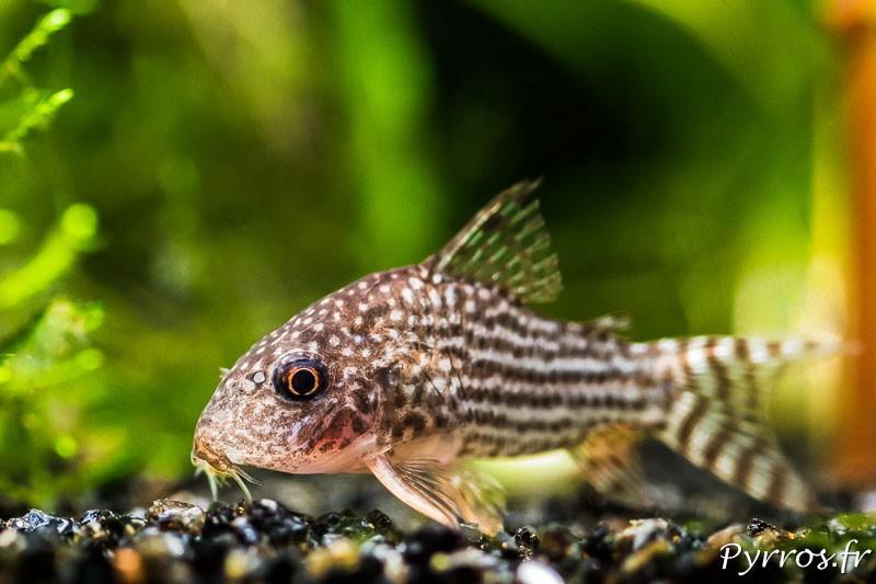 Corydora Sterbai, un poisson fouisseur mais pas une femme de ménage pour aquariophile fainéant