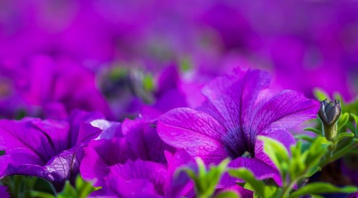 Tapis de Surfinia Dark Lavender