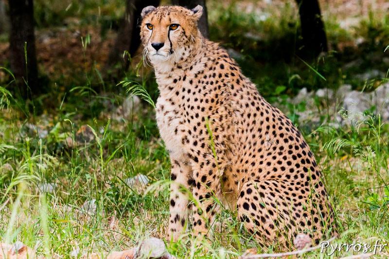Guépard (Acinonyx jubatus) du zGuépard (Acinonyx jubatus) du zoo de Montpellieroo de Montpellier