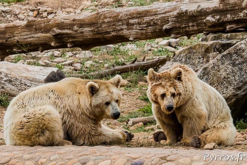 Ours brun de Syrie (Ursus arctos syriacus)