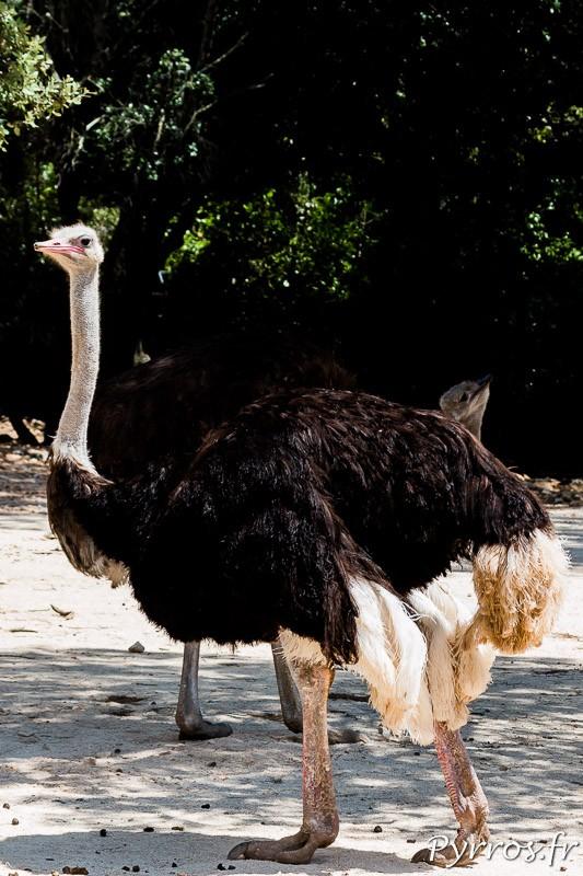 Autruche d'Afrique (Struthio camelus)