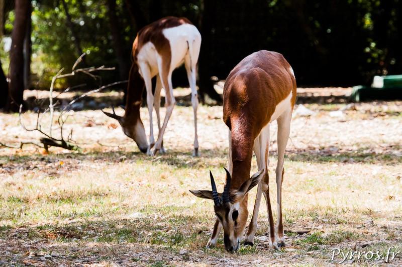 Gazelle de Mhorr (Gazella dama mhorr ou Nanger dama mhorr)