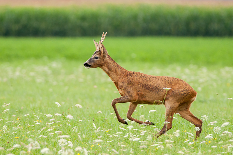 Le chevreuil, largement répandu en France, est idéal pour débuter en photo animalière