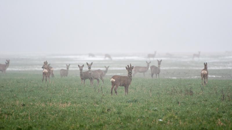 l'hiver est propice à l'observation de grands rassemblements de chevreuils