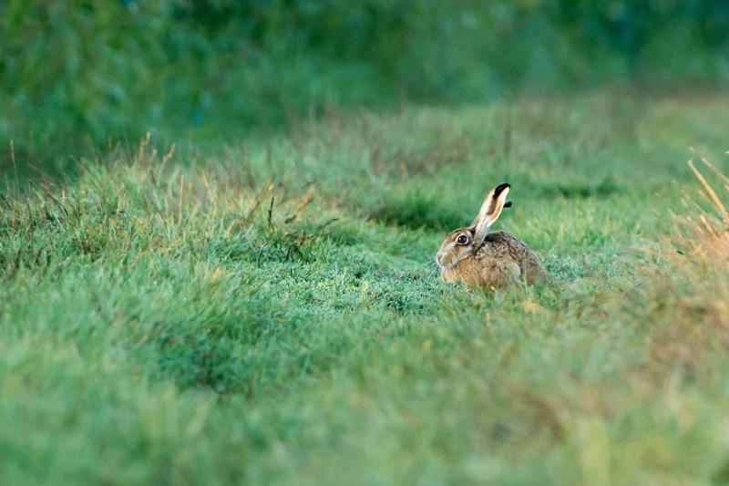 les lièvres sont assez faciles à approcher à condition de rester en position allongée