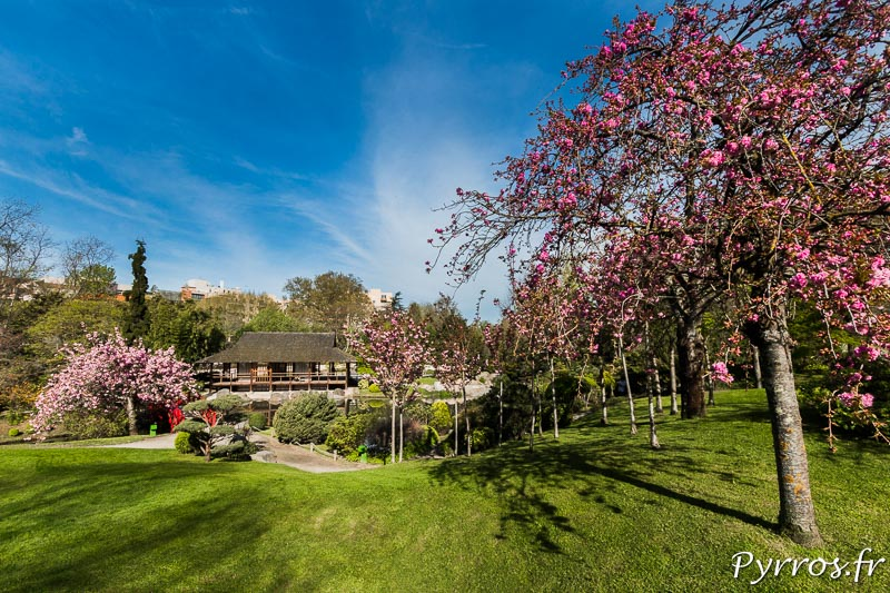 Les cerisiers du Japon (Prunus Cerulata) sont en fleurs