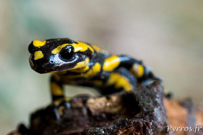 Portrait d'une Salamandre. Ses couleurs indiquent qu'elle peut etre toxique
