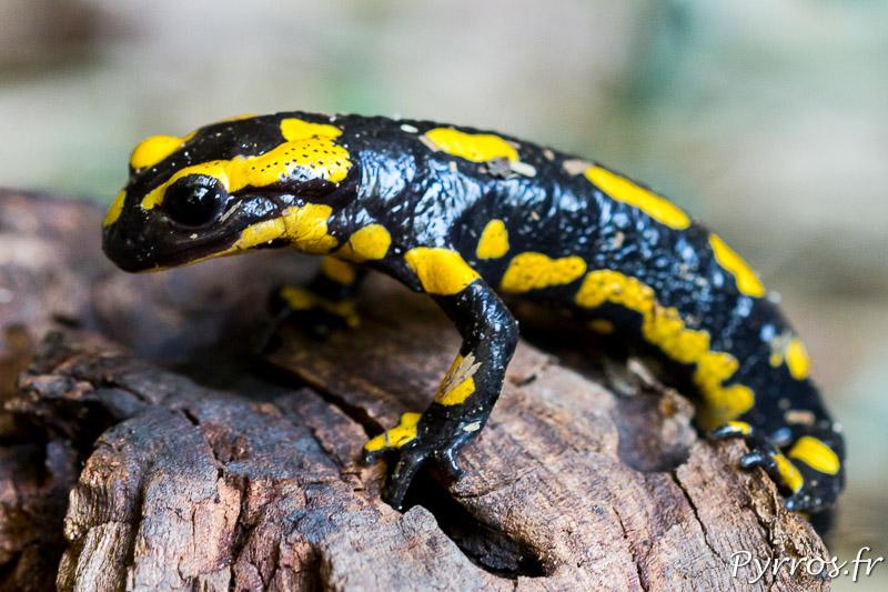 La salamandre reste concentrée pour passer la souche