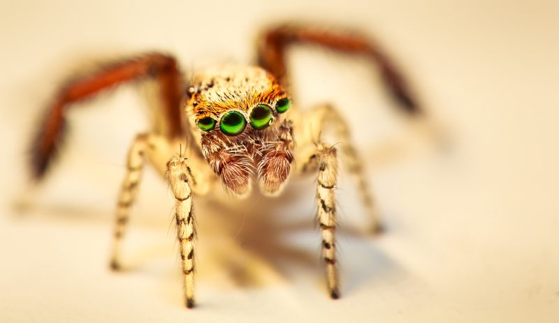 Photo n°2, Salticidae Saitis Barbipes mâle, ISO 800, f 14, 1.125s, Photo Sébastien MALO