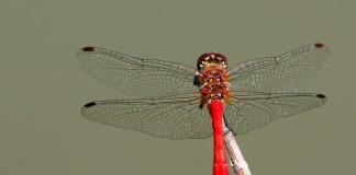libellule rouge : sympètre rouge sang (sympetrum sanguineum)