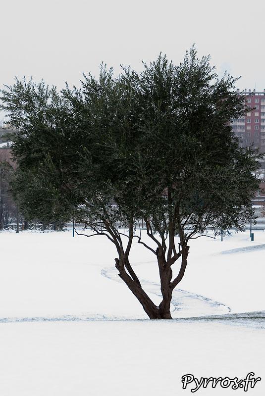 Neige à Toulouse, arbre dans la neige