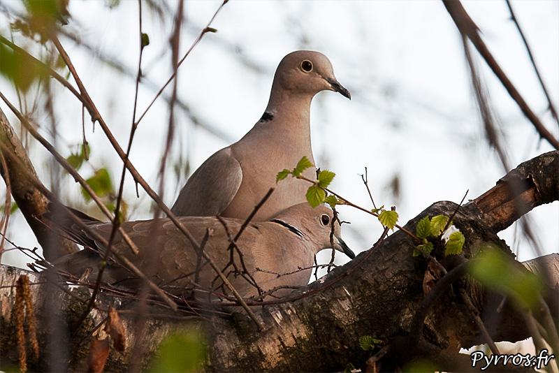 Le male veille sur la sécurité du nid, un autre male est présent dans le secteur
