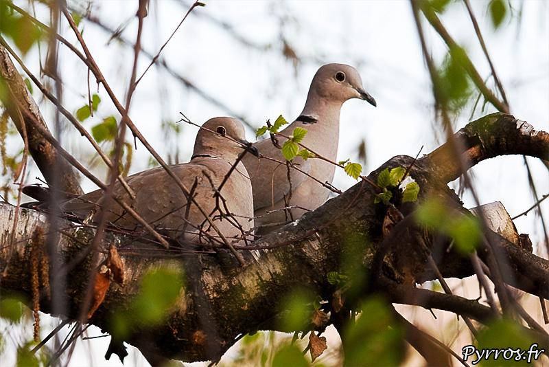 Le male veille, pendant que la femelle assemble le nid