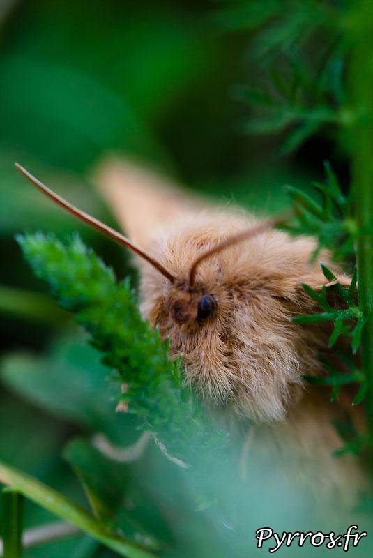Papillon : Lasiocampa trifolii