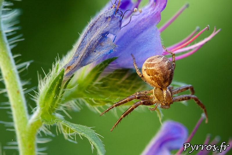 Araignée de la famille des Thomisidae ou araignée crabe