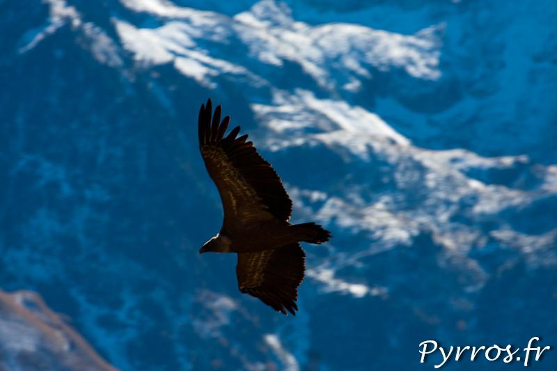 Vol de Vautours Fauves devant les Pyrénées enneigées.