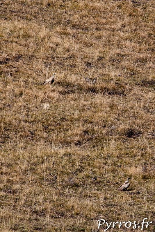 Vautours Fauves au sol